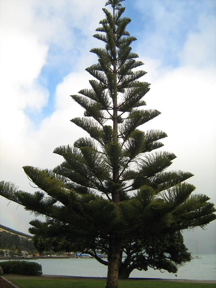 New Zealand Christmas Tree from 2010